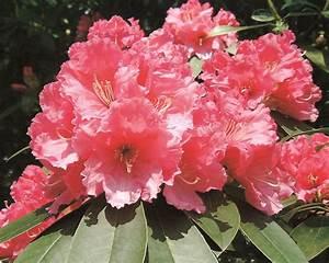 Hochwachsende Stauden Winterhart : der rhododendron shop von hobbie aus westerstede ~ Michelbontemps.com Haus und Dekorationen