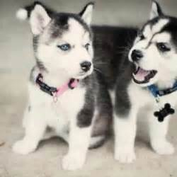 owning a mini husky the complete guide to miniature huskies