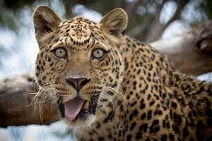 Funny Leopard Wallpaper Animals Wallpaper Better