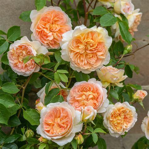 austen roses bathsheba david austin roses