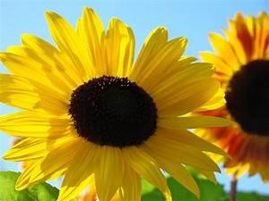 Sunflowers Bright Yellow