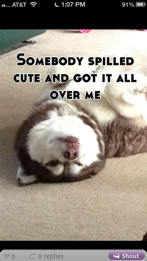 Husky Memes - husky memes huskies doggies pinterest