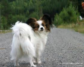 Dogs That Dont Shed Papillon by Papillon All Small Dogs Wallpaper 18774258 Fanpop