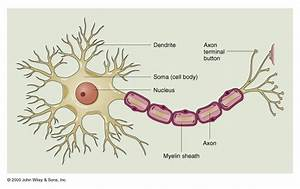 Nerve Cells | Teen Brain Science