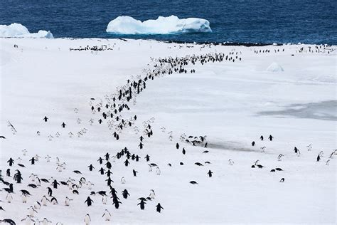 Chinstrap Penguins in Snow, Deception Island, Antarctica ...