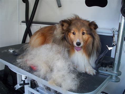 sheltie shedding puppy coat club doggie mobile grooming salon before and after photo