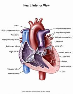 Interior view of the human heart | Human Heart Reference ...
