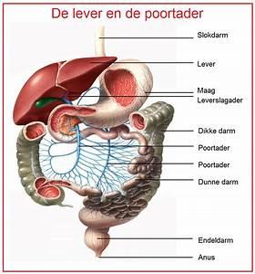 Bouw lever