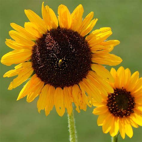 sunflower seeds grow   sunflowers
