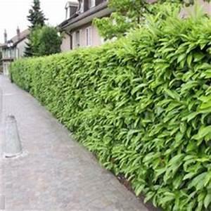 Quand Tailler Un Saule Crevette : haie fleurie et persistante quels arbustes pour haies ~ Melissatoandfro.com Idées de Décoration