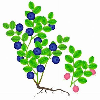 Blueberry Branch Buisson Bush Myrtille Berries Flowering