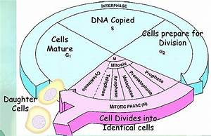 Chapter 10  U2013 Cell Cycle And Cell Division  U2013 Biology For