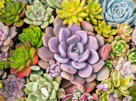 Different Succulent Colors: Choosing Bright Colorful Succulents