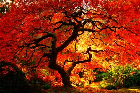 Christmas Tree Types Oregon by Japanese Maple Varieties Spectacular Trees For Your Garden