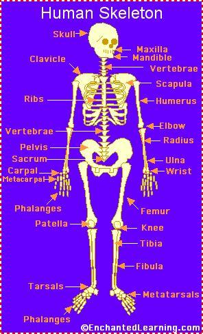 human skeletonthe human skeleton consists   bones