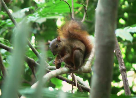 Dwarf Squirrel | Project Noah