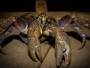 Coconut crab's pinch is as strong as a lion's bite