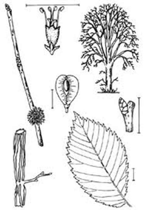 fiche m騁ier cuisine orme conseil jardinage application en phytothérapie et recette de cuisine