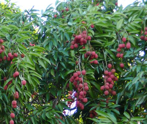 Litchi A New Yet Old Fruit Tree For Kenya Agroforestry
