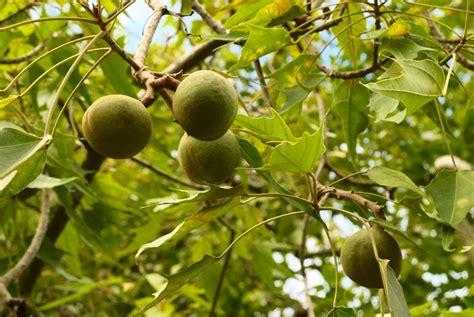 The Incredible Kukui Nut