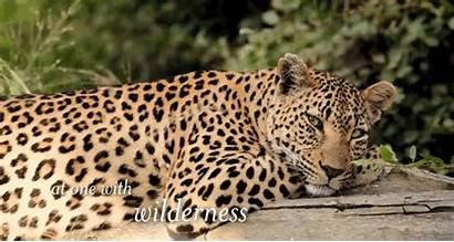 Leopard Hidden Camera Spots Coat Vimeo Leopards