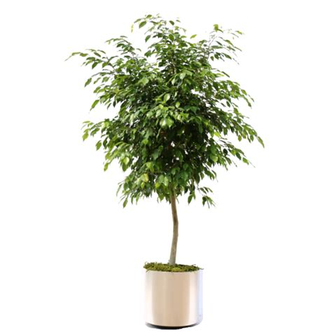 indoor plants low maintenance ficus benjamina package