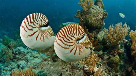 nautilus invertebrates animals eden channel