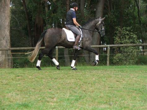 andalusian lusitano horses pure horse spanish horsezone