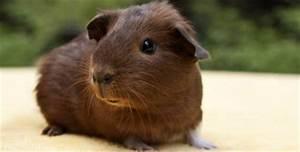 Bilder Zum Kaufen : meerschweinchen kaufen worauf sie achten sollten ~ Yasmunasinghe.com Haus und Dekorationen
