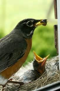Robin Families Bird