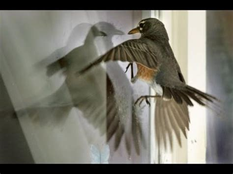 the bird is stunned from hitting our window youtube