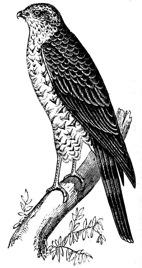 sparrow clipart black and white sparrow hawk clipart etc