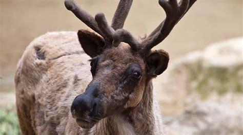 Reindeer San Diego Zoo Animals Plants