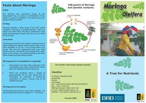 Organic Gardening Moringa Oleifera Drumstick Tree