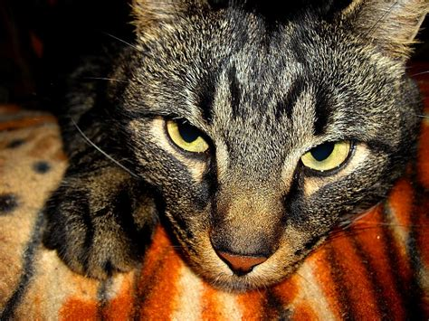 Kaķi (feline) - Spoki