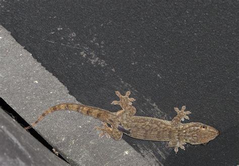 gecko - Private Island, Cousteau, Fiji on eecue.com : Dave ...