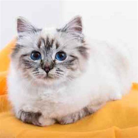 gatto da appartamento razza continua la rassegna sulle razze di gatti pi 249 si