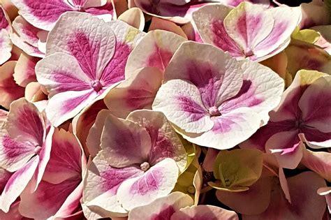 significato fiore ortensia significato cinese fiori www miglioreimmagini