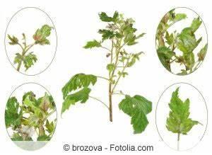 Tomaten Richtig Schneiden : kraut und braunf ule phytophthora infestans an tomaten ~ Lizthompson.info Haus und Dekorationen