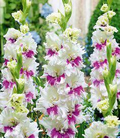 riesen wolle kaufen die 418 besten bilder gladiolen hibiskus lilien in 2019 gladiolen hibiskus und lilien