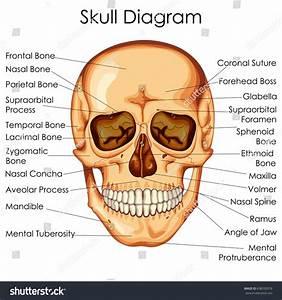 Medical Education Chart Biology Human Skull Stock Vector