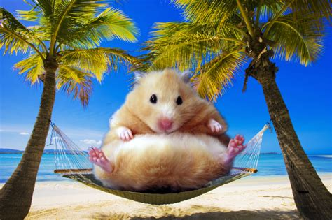 Hamster Hammock by Hamsters Are More Optimistic When They Ve Got A Hammock