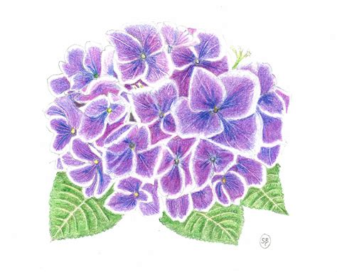 how to draw a purple flower purple hydrangea drawing www pixshark com images galleries with a bite