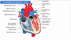 Heart Anatomy And Function