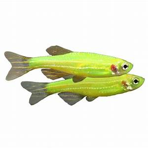 Danio Glofish | Live Fish | PetSmart | AWESOME | Pinterest ...