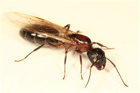 carpenter ants with wings winged carpenter ant conotus bugguide net