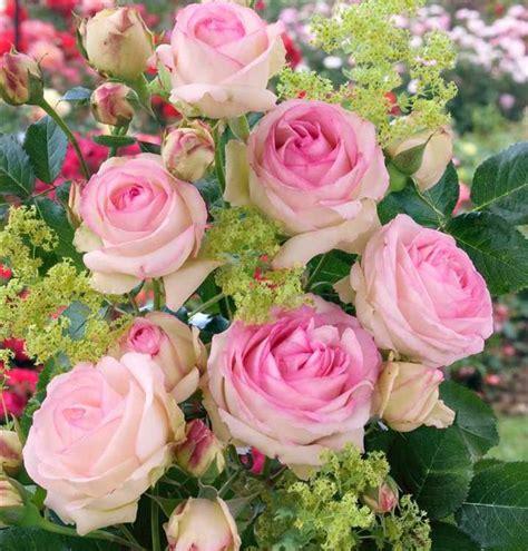 Rosa Mini Eden Rose R Kl Kletterrose Mini Eden Rose