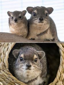 Hyraxes have an identity problem. These small, unassuming ...