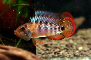 Apistogramma baenschi - AquaticQuotient.com Photo Gallery