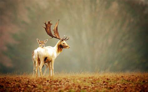 Animal Deer Wallpaper - deer wallpapers best wallpapers
